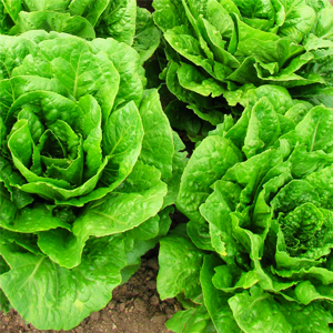 Easiest vegetables to grow in Australia - Lettuce
