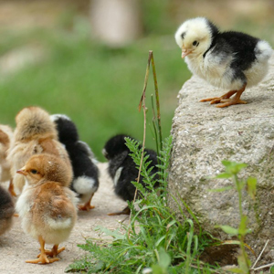 Family Garden - Keeping Chicken
