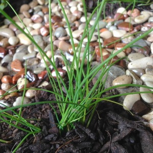 Chives - herbs and fairies