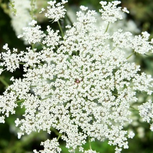 Queen Anne – compact ornamental that attracts predators