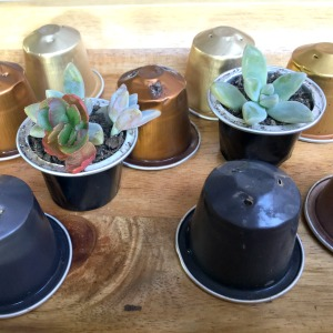 Recycle Coffee Pods with Succulents Planted