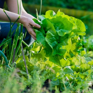 Becoming Sustainable - growing lettuce