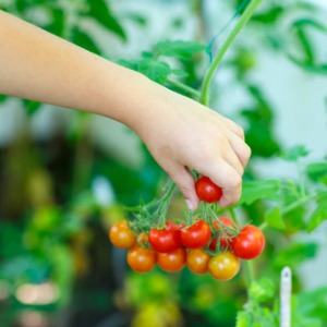 vegetable garden - growing cherry tomatoes
