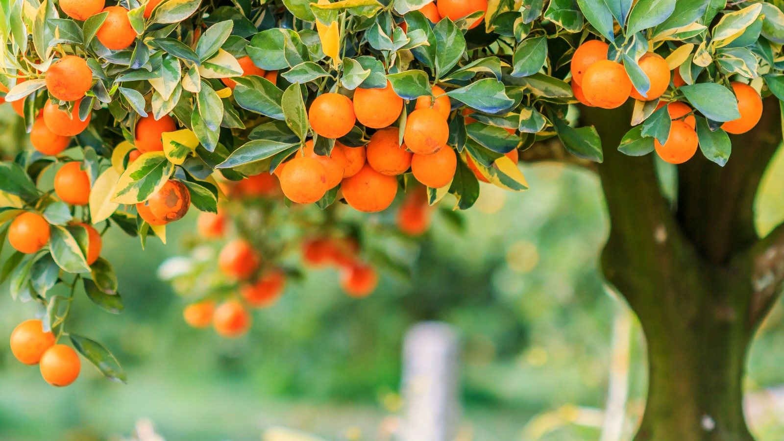 Know the best time and tools for pruning citrus trees