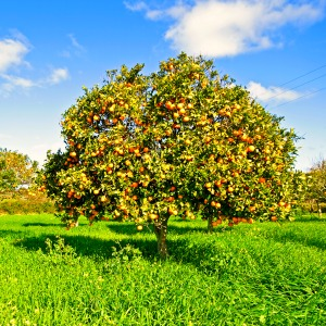 Orange tree - pruning citrus trees