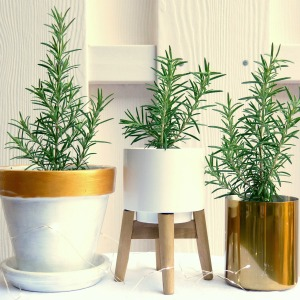 rosemary cuttings decorative pots