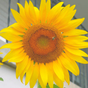 easy Seed Saving - sunflower