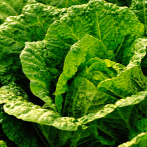 Asian Greens Chinese cabbage
