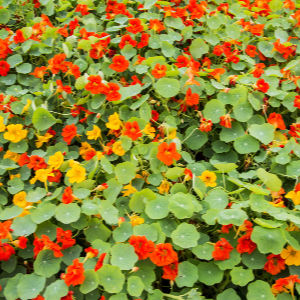 companion flowers for autumn Nasturtiums 1