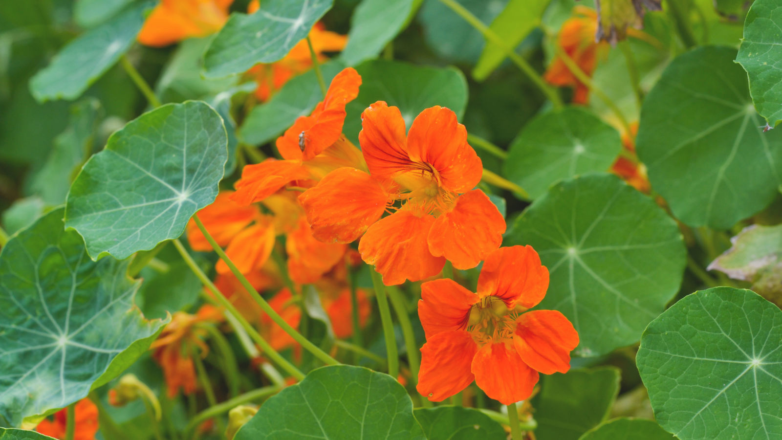 companion flowers for autumn Nasturtiums main 1