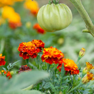 companion flowers for autumn Marigolds 1