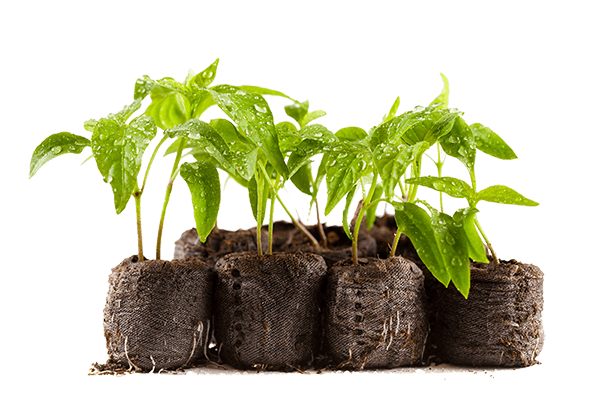 gardening for beginners - capsicum seedlings