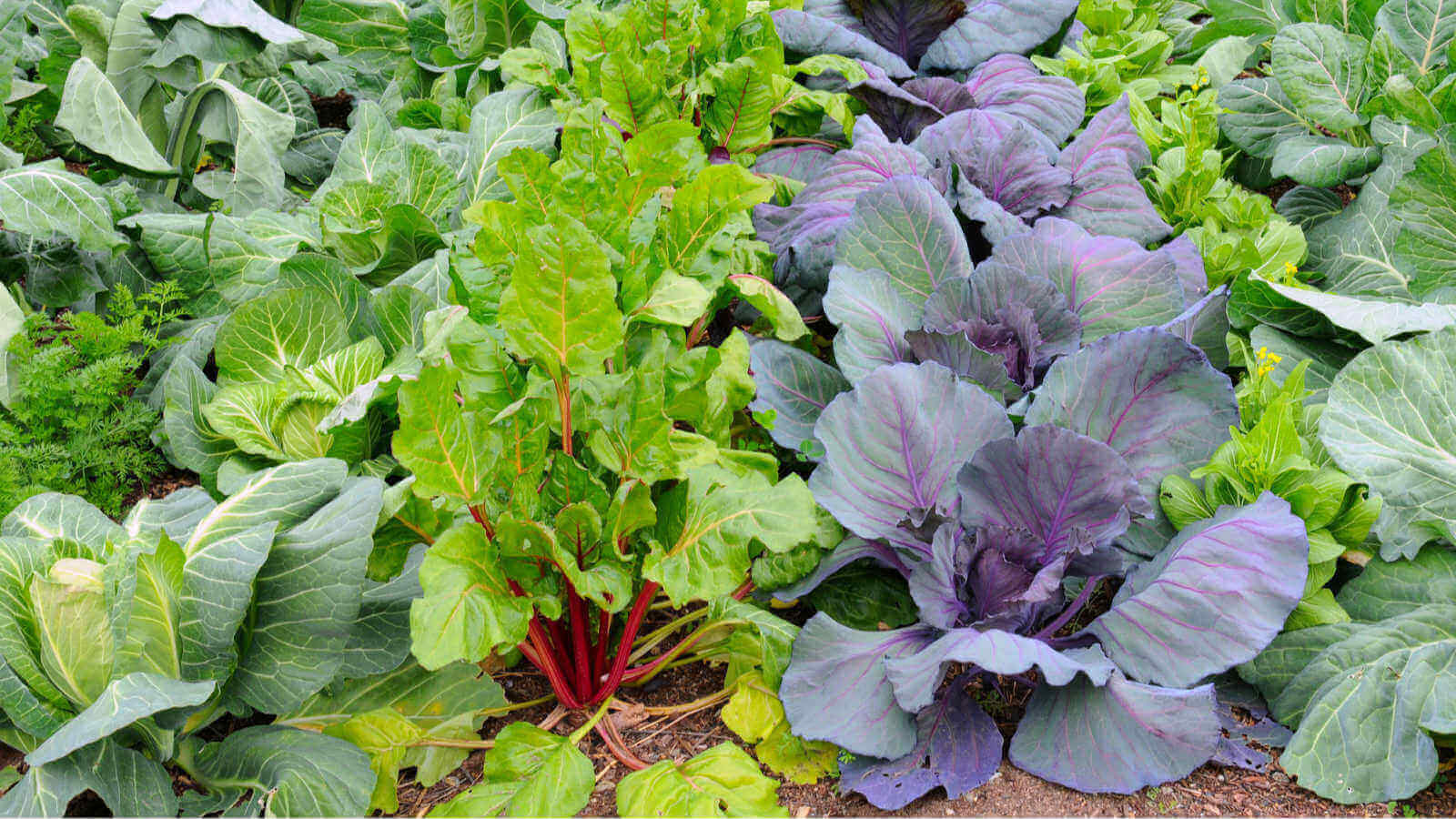 gardening-jobs-for-winter-vegetables-greens