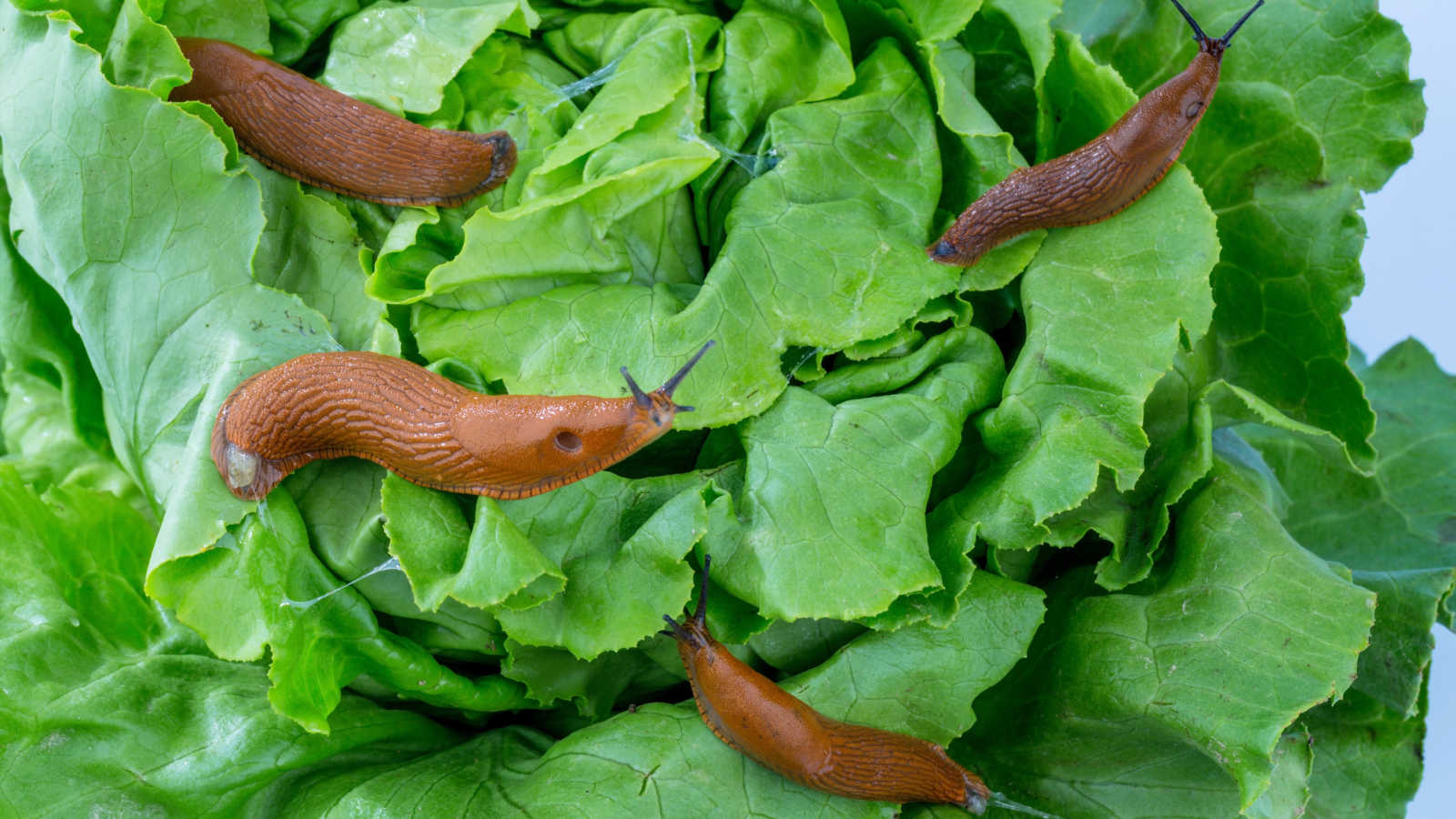 The best organic snail and slug solutions for success!